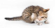 Дерматит у кошек: от контактного до аллергического
