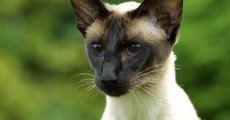 Своенравные и свободолюбивые, но общительные и интеллигентные. Знакомьтесь – сиамские кошки!