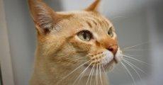 Кошки-домоседы породы австралийский мист