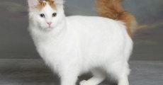 Турецкий ван – внешний вид, выбор котенка, советы по уходу