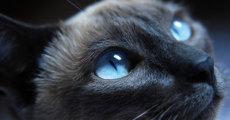 Конъюнктивит у кошек: как лечить воспаление глаз