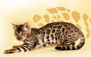 Пятнистые кошки: воплощение природной грации и обаяния