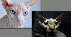 Порода кошек сфинкс – виды, характер, выбор котенка