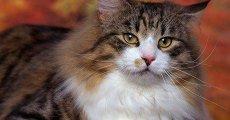 Большой добряк с хорошими манерами – знакомьтесь, норвежский лесной кот!