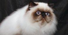 Роскошная персидская шубка и чудесный сиамский окрас – это гималайский кот!