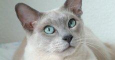 Интеллектуалы с телепатическими способностями – тонкинские кошки