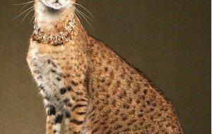 Кошка Ашера – уникальная рекламная кампания талантливых аферистов