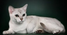 Кошка породы Бурмилла обязательно станет членом вашей семьи!