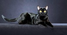 Бомбейская короткошерстная кошка – черный леопард в миниатюре