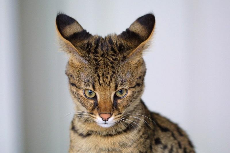кошка порода саванна фото