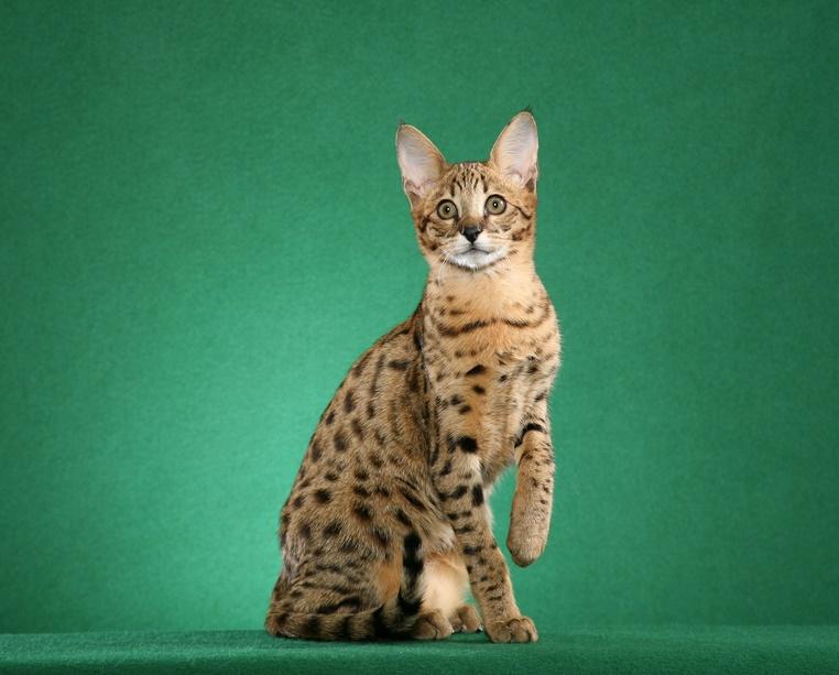 Саванна кошки картинки