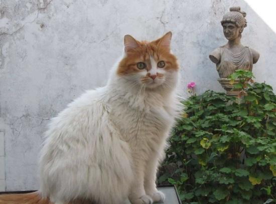 порода котов ван фото