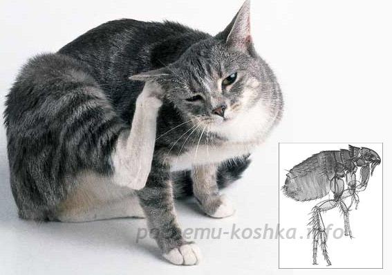 Блохи у кошек, как вывести блох у котенка, спреи, ошейники и капли от блох для кошек