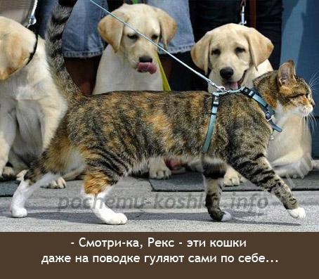 Зачем нужны шлейка и поводок для кота