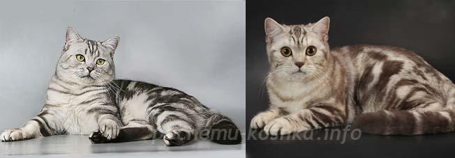 Белый кот с черными полосками