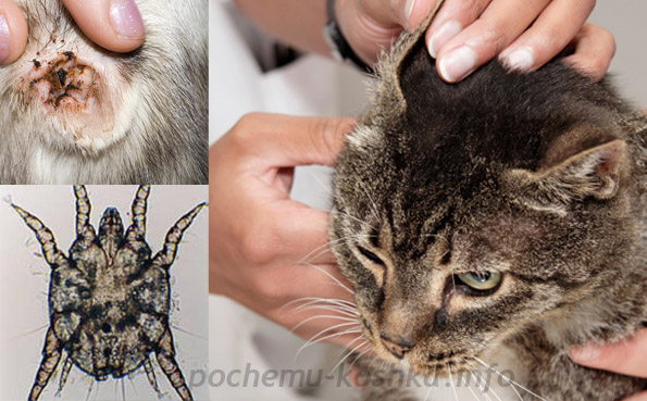 Капли от ушного клеща коту