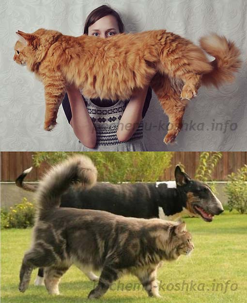 майкуны коты характеристики размеры