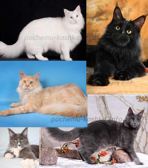 Котята мейн кун описание