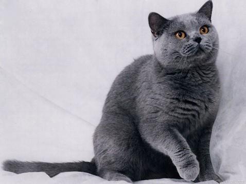 Кот плюшевый серый порода