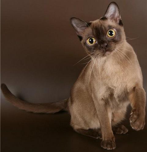 бурма кошка фото шоколадного
