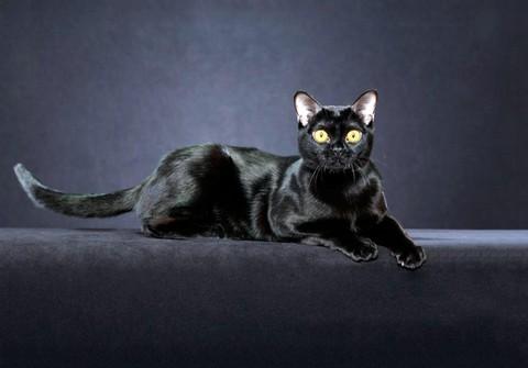 Бомбейская короткошерстная кошка