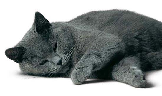 Флегматичный кот