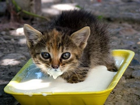 Очень голодный котенок