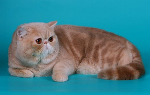 Кошка породы экзот