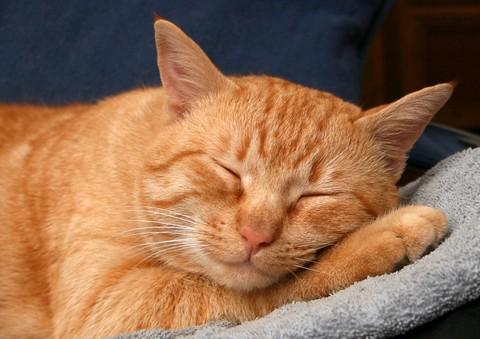 Кошка рыжего окраса
