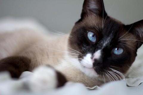 Кошка Сноу шу