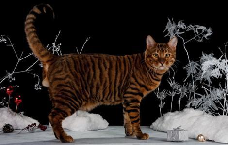 Коты породы Тойгер - весьма крупные особи