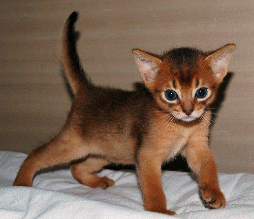 Котенок Абиссинкой породы