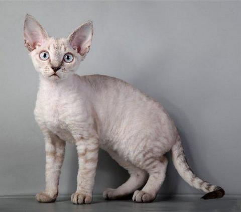 Подросший котенок Девон рекс
