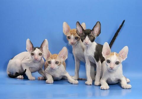 Подросшие котята Корниш рекс
