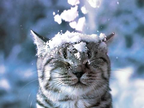 "Британская кошка - лицо бренда ""Вискас"""