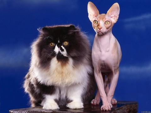 Продолжительность жизни породистых котов меньше, чем беспородных