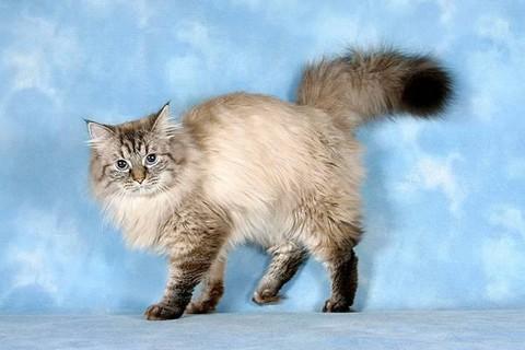 Российская порода кошек