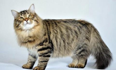 Видео кота сибирского