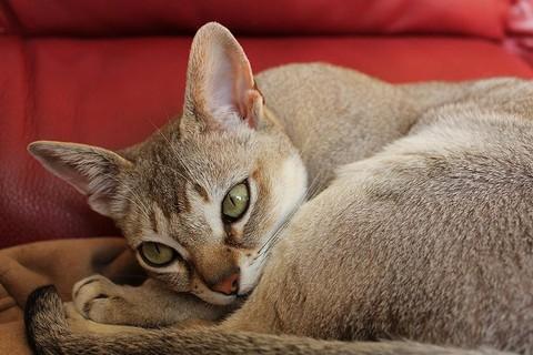 Сингапурская кошка усатый минимализм