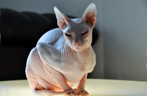 Интеллектуалы с телепатическими способностями  тонкинские кошки