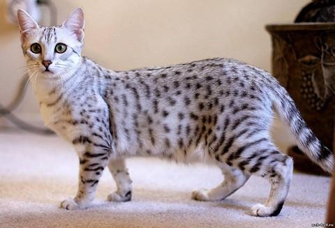 Элегантный кот