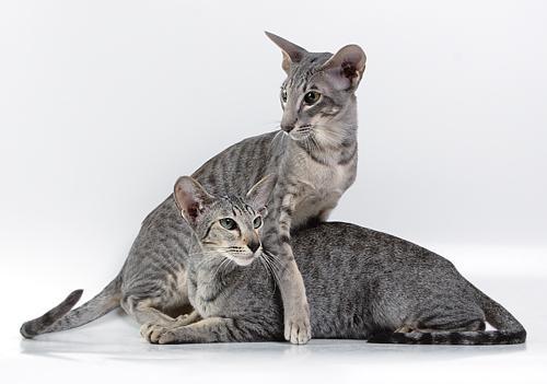 Короткошерстные ориентальные кошки