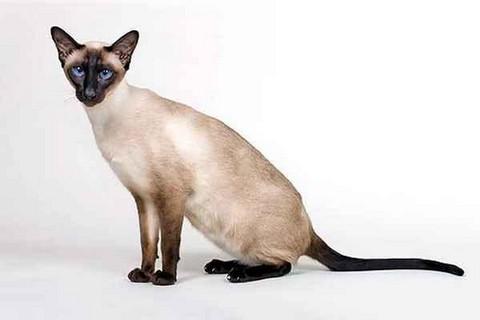 сиамский ориентальный кот