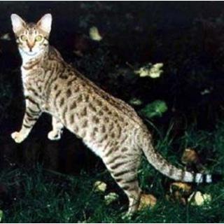 Длинноногая кошка