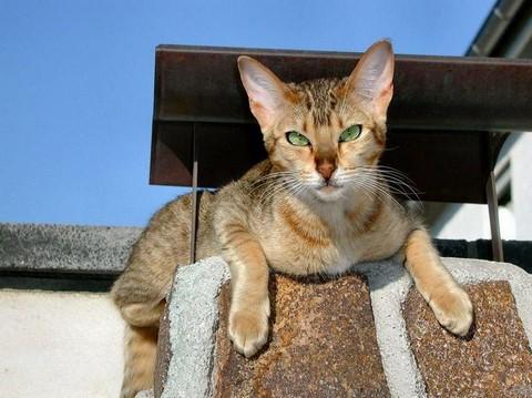 Канаани (Ханаани) кошка: подробное описание, фото, купить, видео, цена, содержание дома