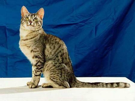Животных этой породы также называют кельтскими кошками