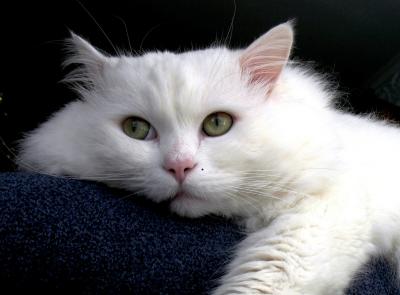 Как лечить кошку от анемии