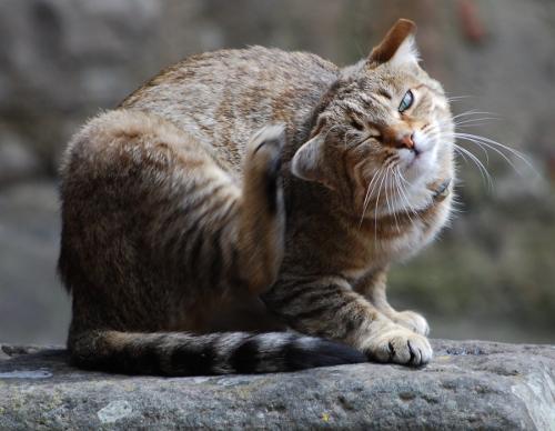 У кота уши чем лечить в домашних условиях