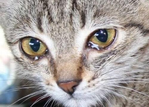 Слезоточение у кошки