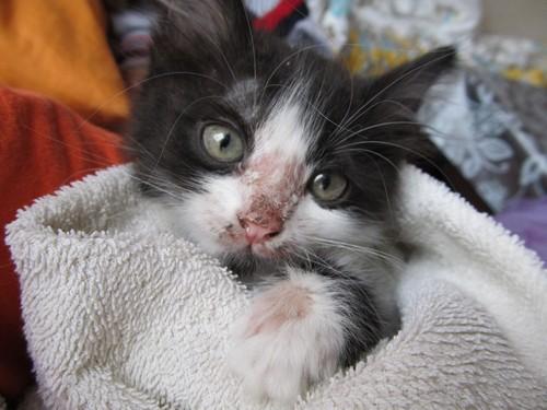 Дерматофитоз у котенка на носу